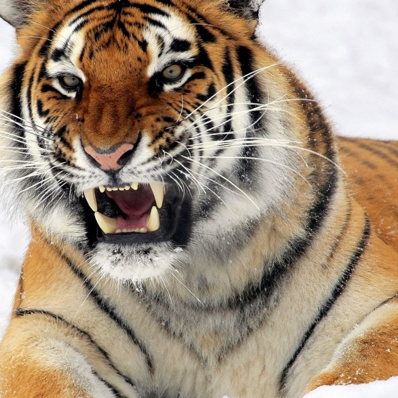 10 Most Popular Siberian Tiger Wallpaper Hd 1080P FULL HD 1920×1080 For PC Desktop 2018 free download download wallpaper 1920x1080 tiger amur tiger aggression teeth 800x800