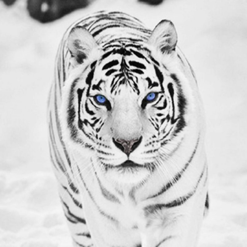 10 Latest White Tiger Hd Wallpapers 1080P FULL HD 1080p For PC Desktop 2018 free download download white tiger wallpaper background for widescreen wallpaper 800x800