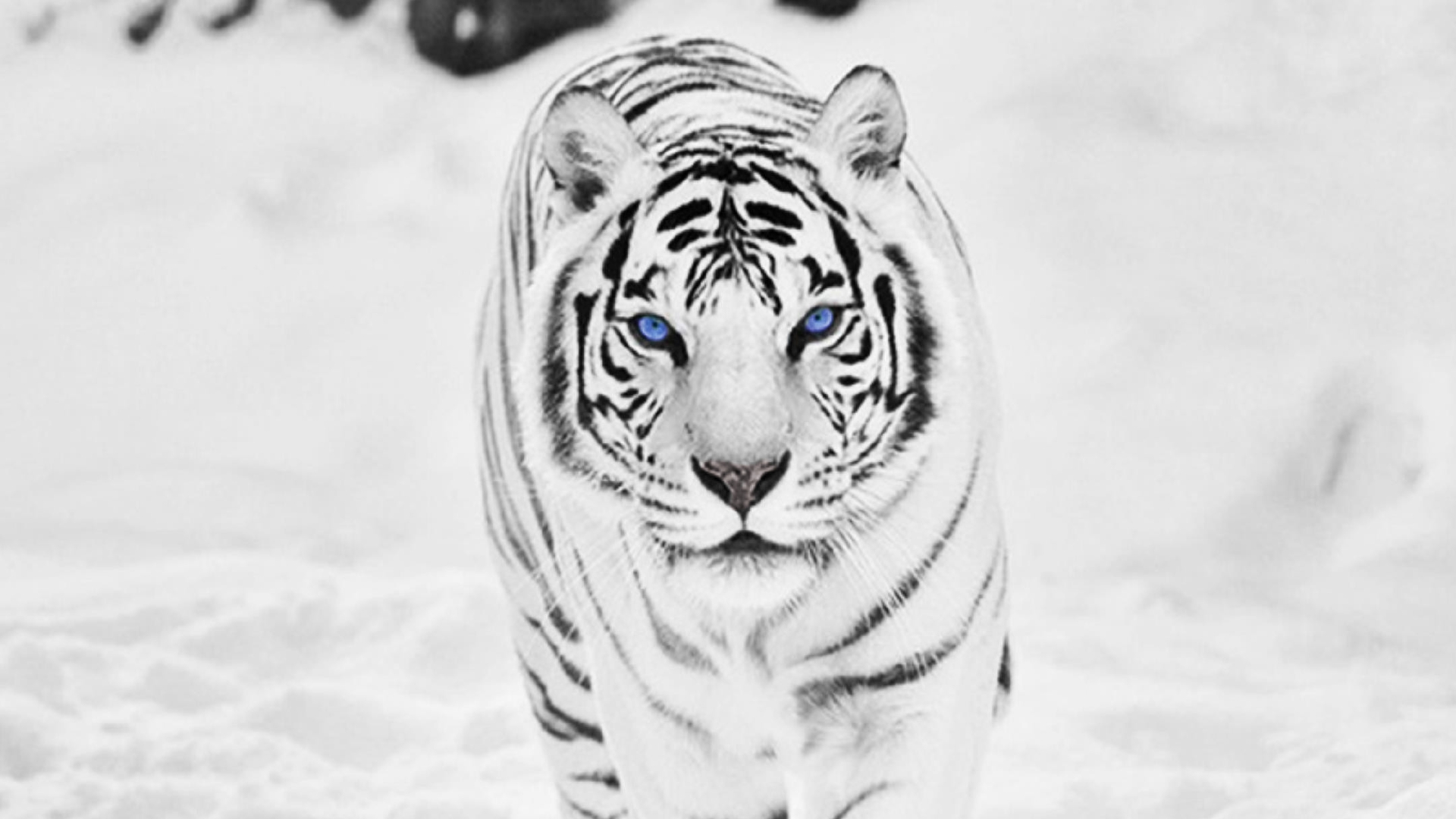 download white tiger wallpaper background for widescreen wallpaper