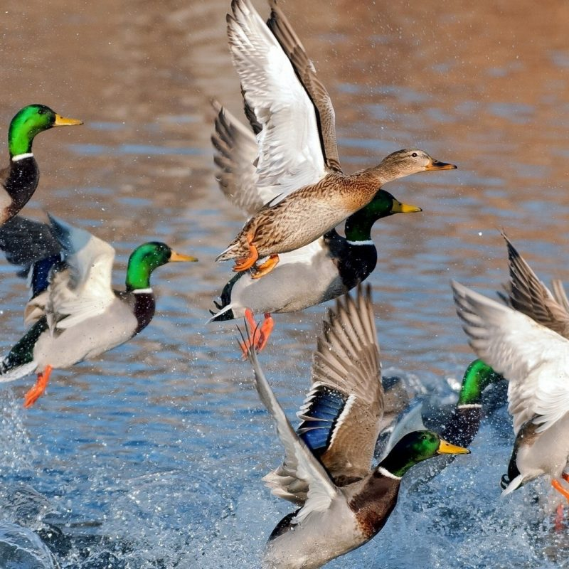 10 New Duck Hunting Desktop Wallpaper FULL HD 1920×1080 For PC Desktop 2018 free download duck hunting wallpapers free download pixelstalk 800x800