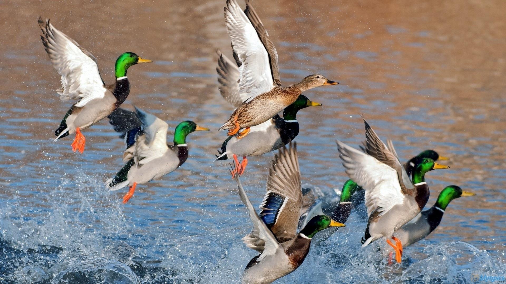 10 New Duck Hunting Desktop Wallpaper FULL HD 1920×1080 For PC Desktop