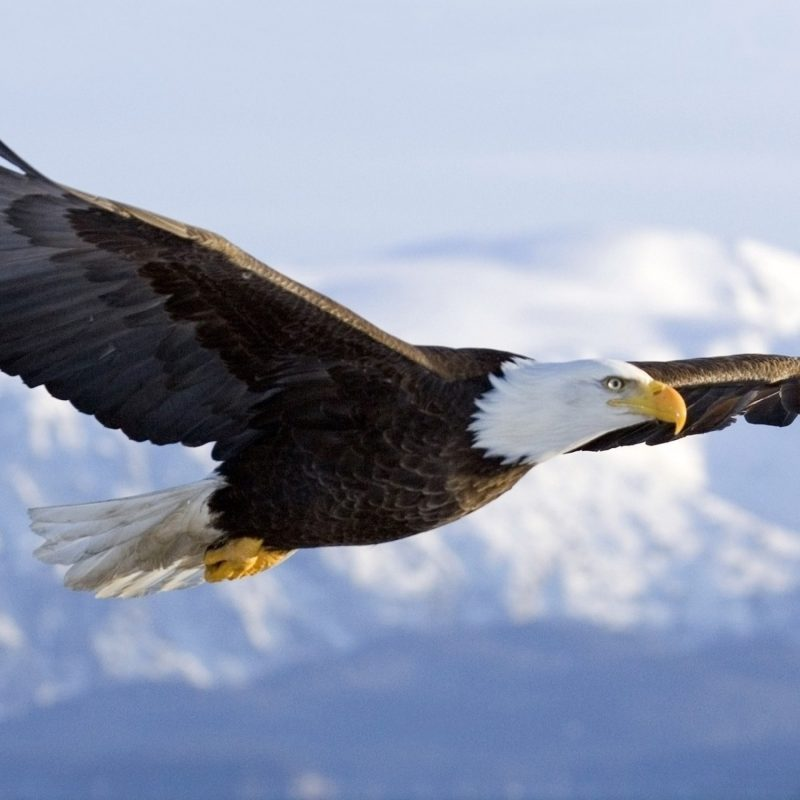 10 New Bald Eagle Wallpaper High Resolution FULL HD 1080p For PC Background 2020 free download eagle wallpapers free download group 89 800x800