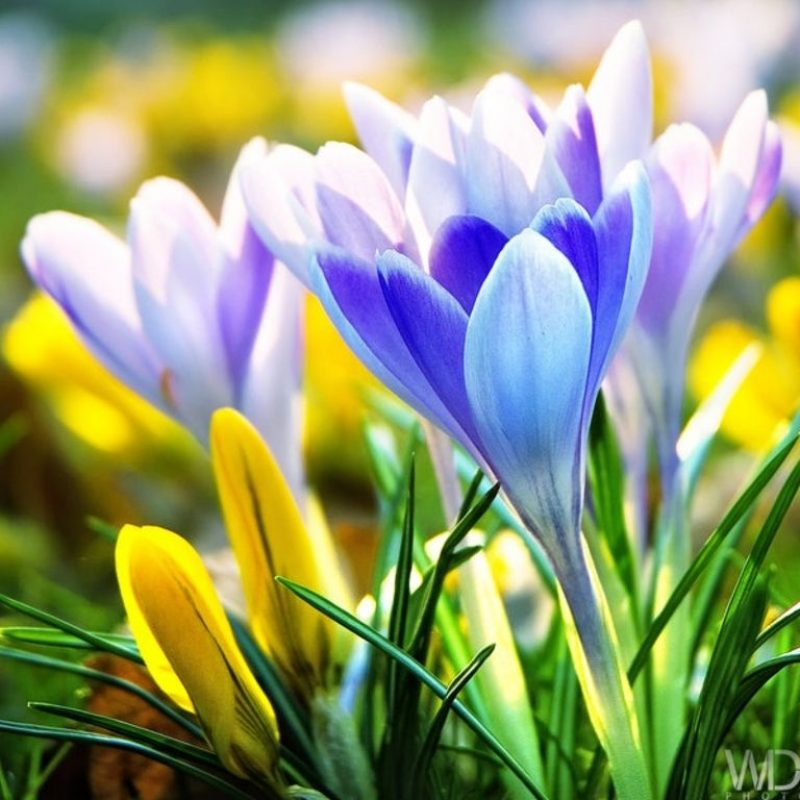 10 New Early Spring Desktop Background FULL HD 1920×1080 For PC Desktop 2020 free download early spring flowers wallpaper background image texas pinterest 800x800