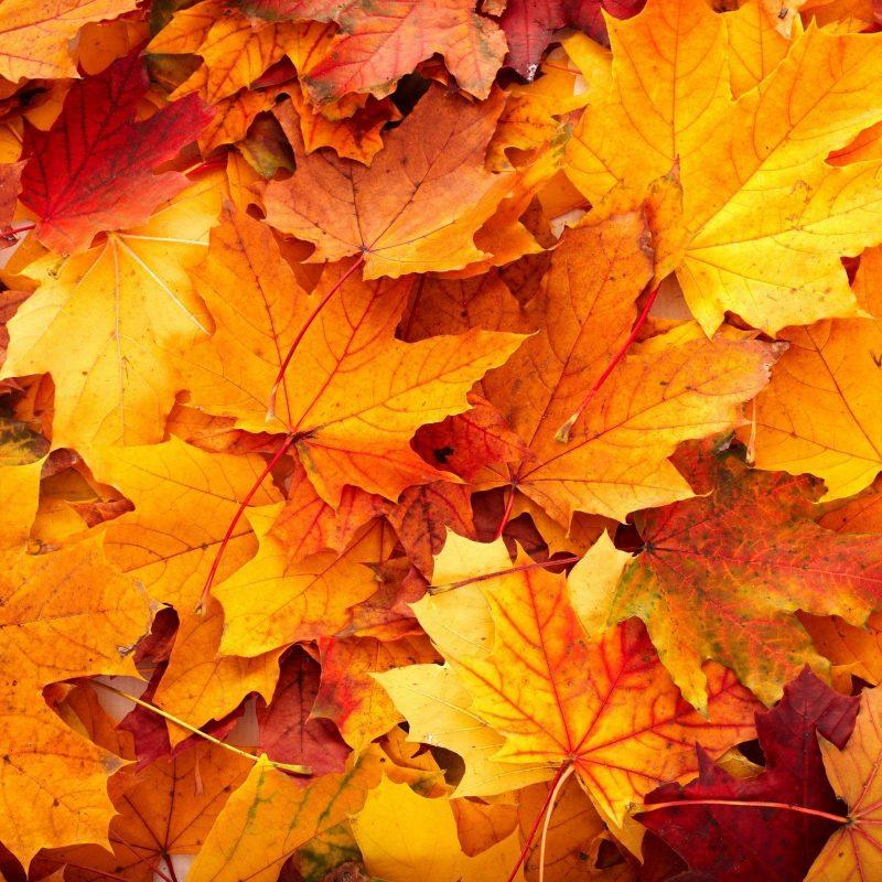 10 Most Popular Fall Leaves Desktop Wallpaper FULL HD 1920×1080 For PC Desktop 2020 free download fall leaves backgrounds wallpaper cave 800x800