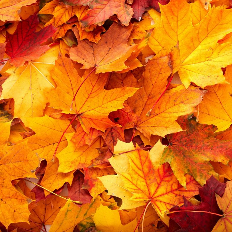 10 Latest Fall Leaves Hd Wallpaper FULL HD 1080p For PC Desktop 2018 free download fall leaves hd background wallpapers 3890 amazing wallpaperz 800x800