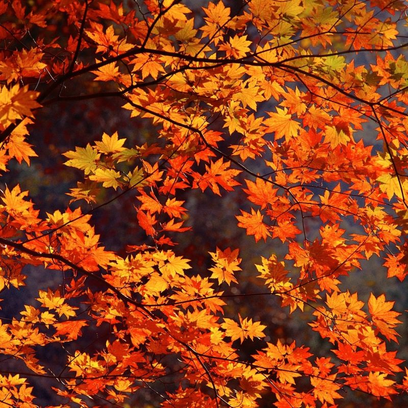 10 Most Popular Fall Leaves Desktop Wallpaper FULL HD 1920×1080 For PC Desktop 2020 free download fall leaves tumblr hd desktop wallpaper instagram photo background 800x800