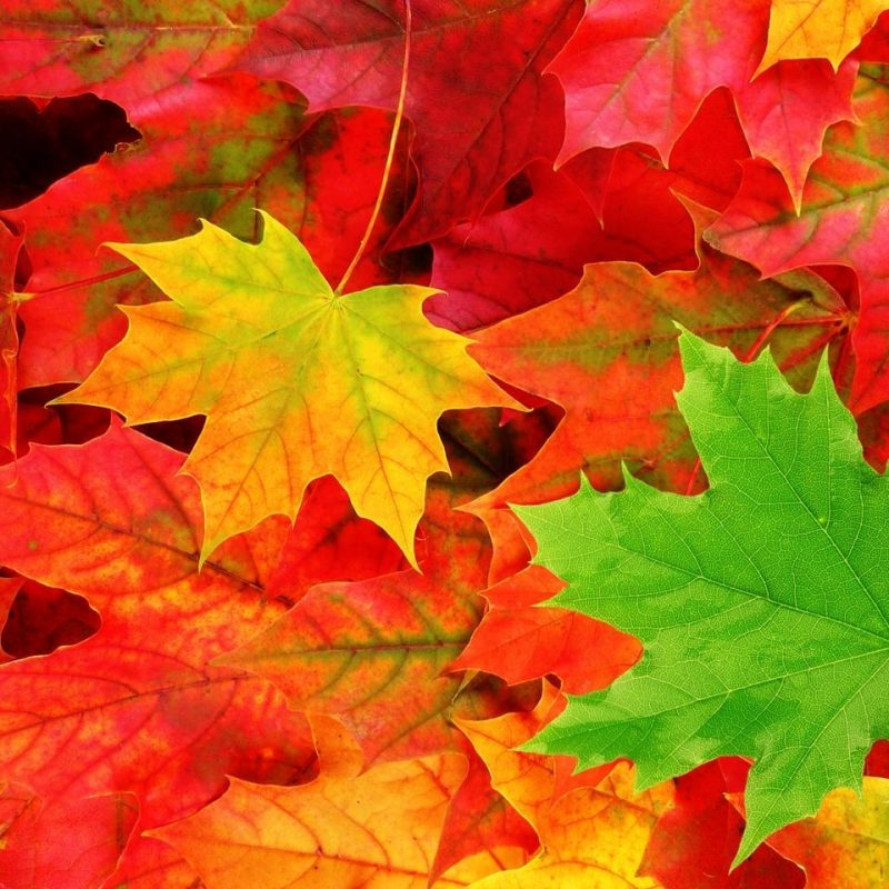 10 Most Popular Fall Leaves Desktop Wallpaper FULL HD 1920×1080 For PC Desktop 2020 free download fall leaves wallpapers for android free download subwallpaper 1 800x800