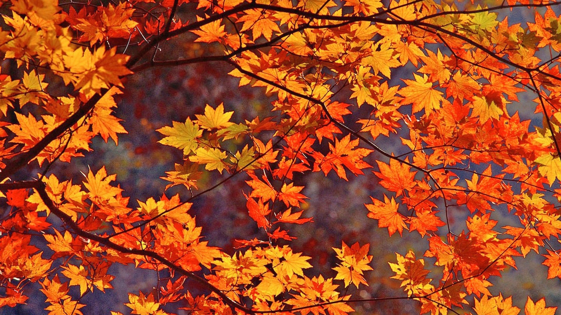 fall leaves wallpapers - wallpaper.wiki