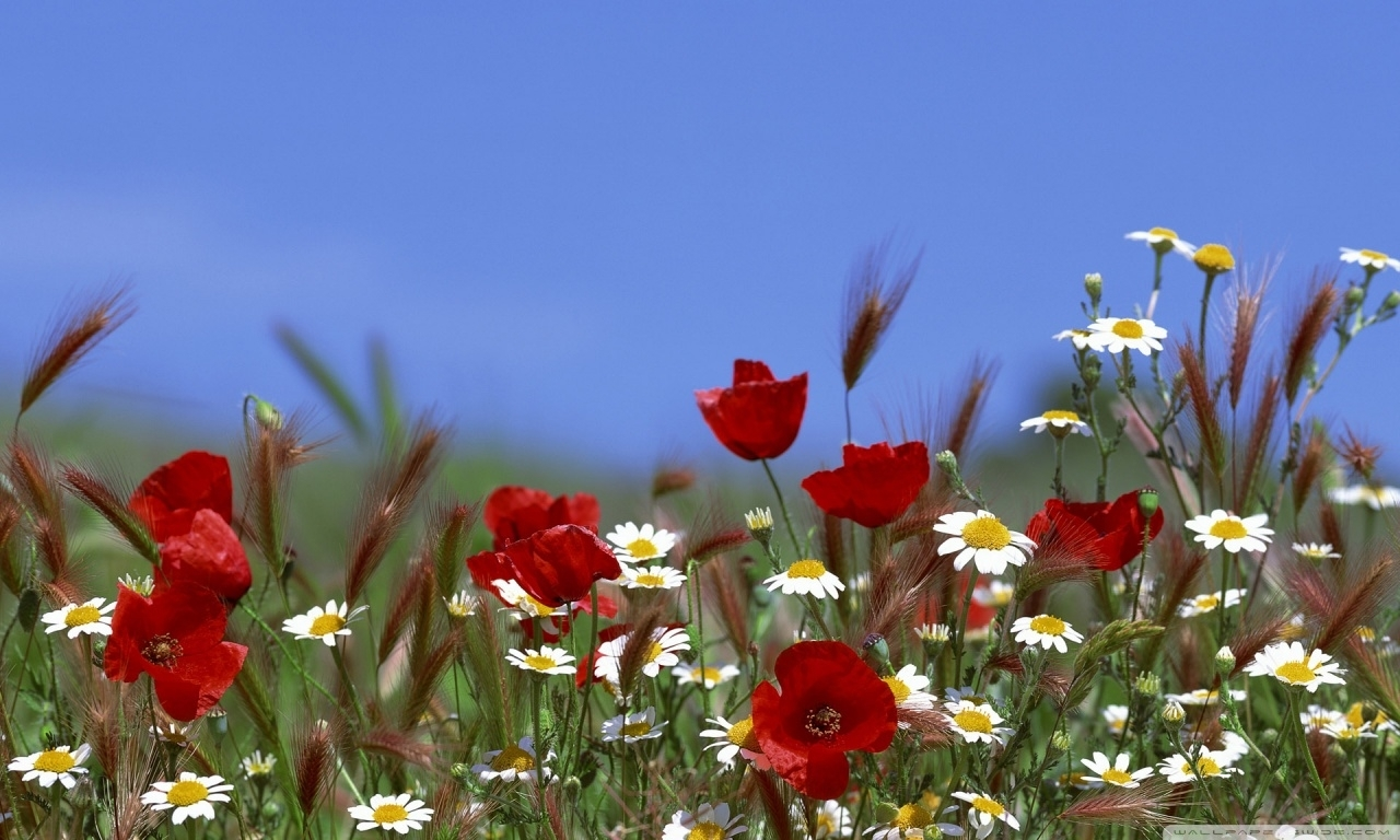 field of flowers summer ❤ 4k hd desktop wallpaper for 4k ultra hd tv