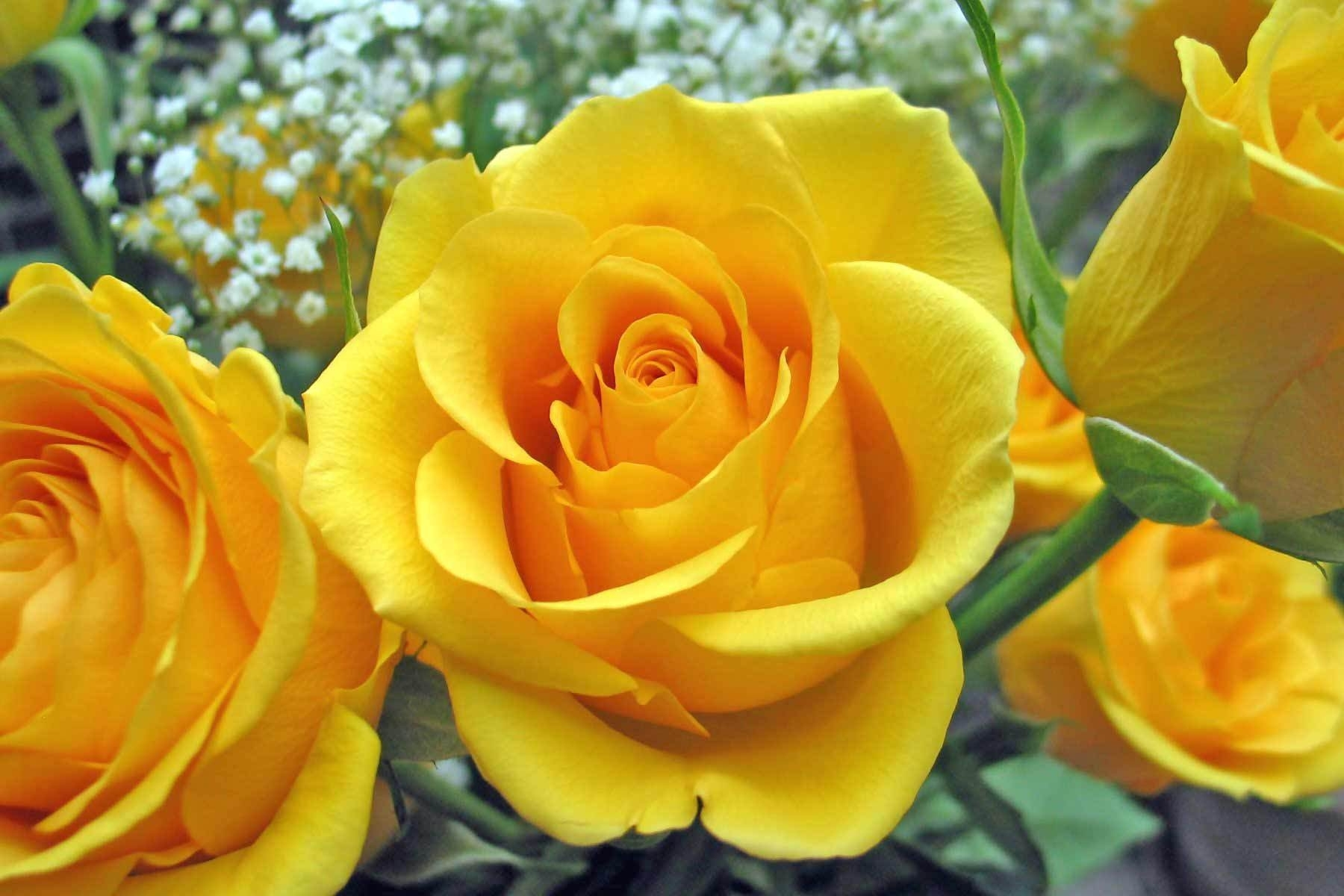 file:awesome-yellow-rose - wikimedia commons