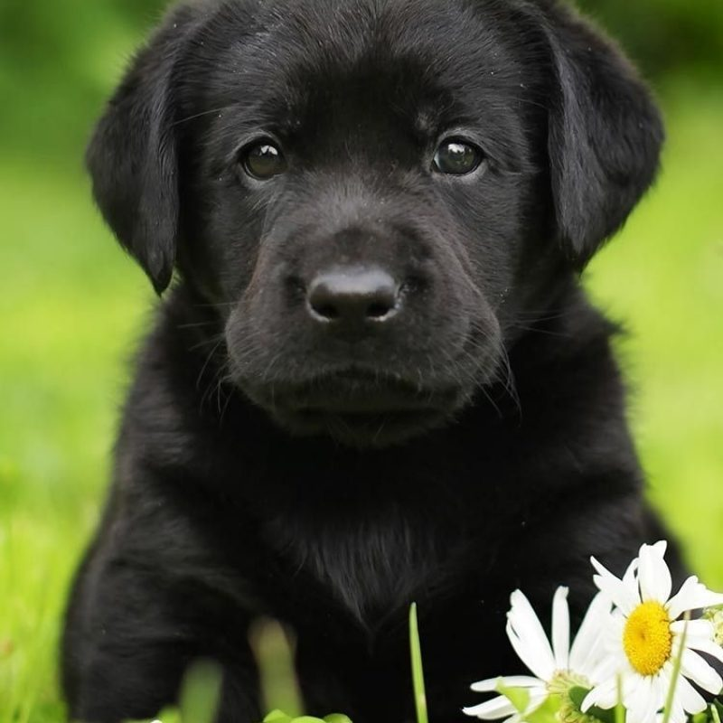 10 Best Pics Of Black Lab Puppies FULL HD 1080p For PC Background 2021 free download finding your perfect black lab puppy isnt hard but there are 800x800