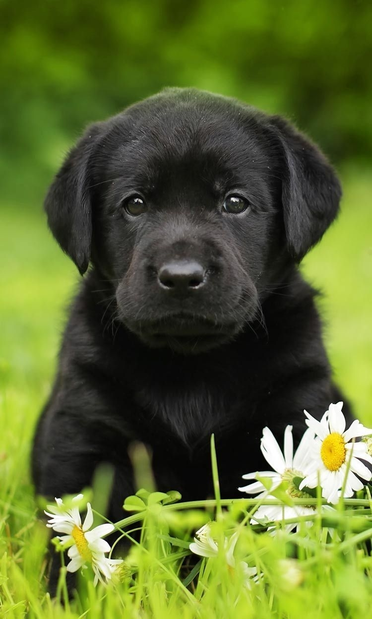 finding your perfect black lab puppy isn't hard, but there are