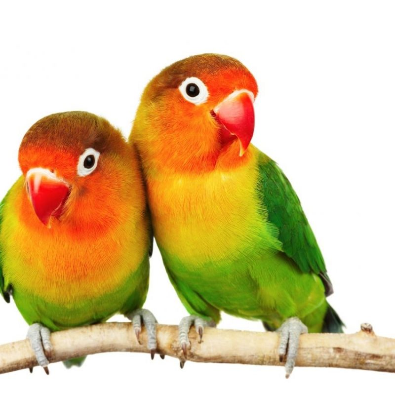 10 Latest Images Of Love Bird FULL HD 1080p For PC Background 2020 free download fischers lovebird pets4homes 800x800