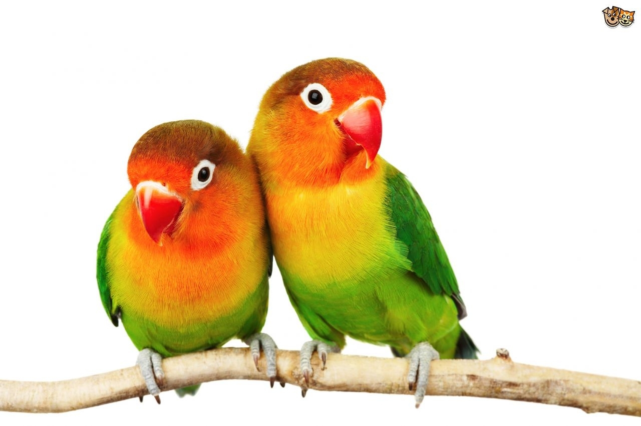 10 Latest Images Of Love Bird FULL HD 1080p For PC Background