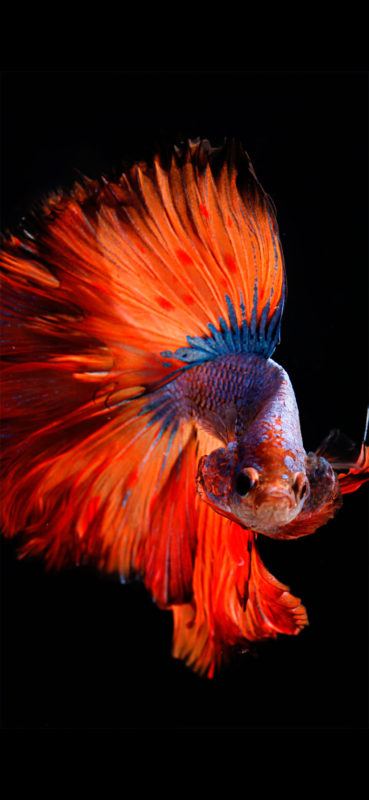 10 New Iphone Fish Wallpaper FULL HD 1920×1080 For PC Background 2021 free download fish wallpaper for iphone x 8 7 6 free download on 3wallpapers 369x800