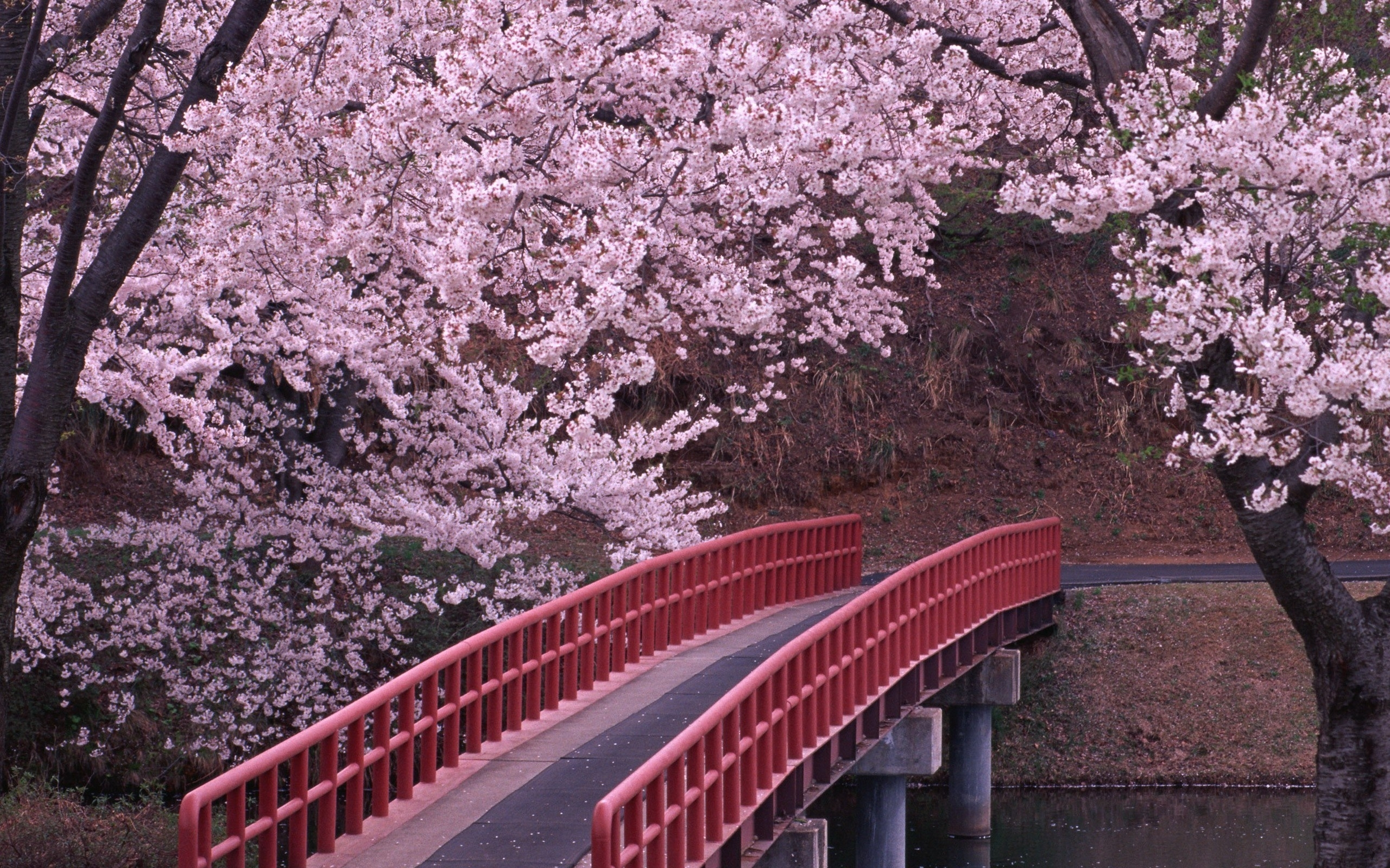 flower lovely beauty tree cherry blossoms flowers nice wallpapers