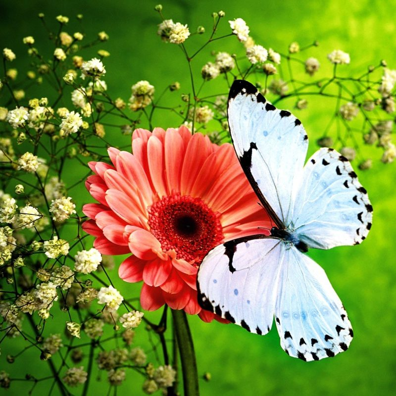 10 Latest Flowers With Butterfly Wallpaper Hd FULL HD 1080p For PC Desktop 2018 free download flowers and butterflies pink flower and beautiful blue butterfly 800x800