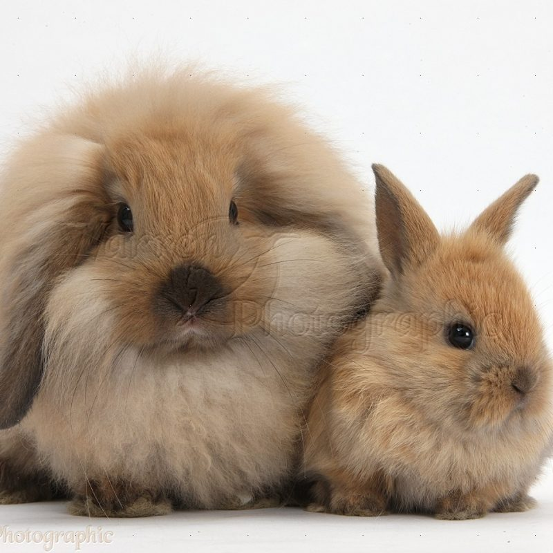 10 Most Popular Cute Baby Bunny Pictures FULL HD 1920×1080 For PC Desktop 2018 free download fluffy lionhead x lop rabbit and cute baby bunny photo wp35984 800x800