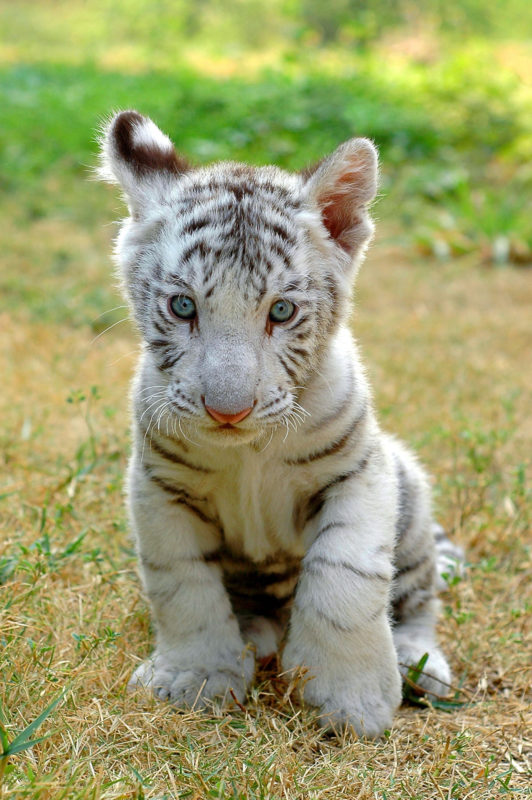 10 Top Baby White Tigers Pictures FULL HD 1080p For PC Desktop 2020 free download for animal people animals of the wild animals cute baby animals 532x800
