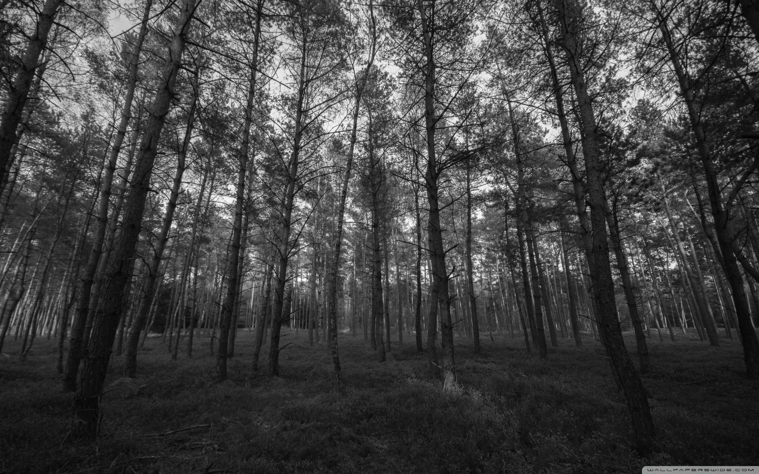 forest black and white ❤ 4k hd desktop wallpaper for 4k ultra hd tv