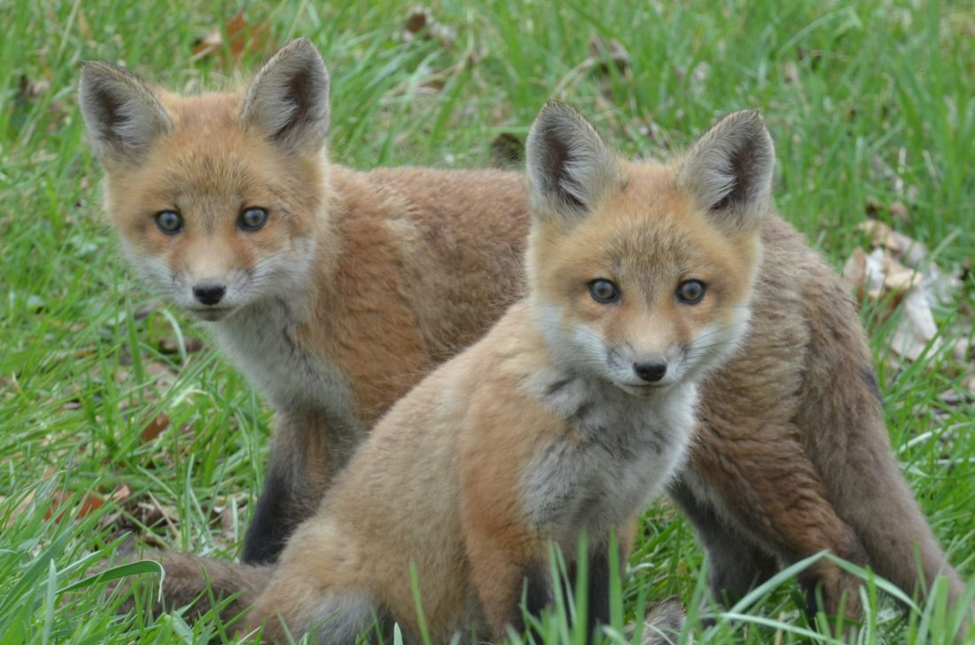 fox pups learning how to live | news, sports, jobs - times republican