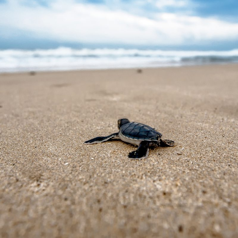 10 Latest Baby Sea Turtles Wallpaper FULL HD 1080p For PC Background 2018 free download free baby sea turtle chromebook wallpaper ready for download 800x800