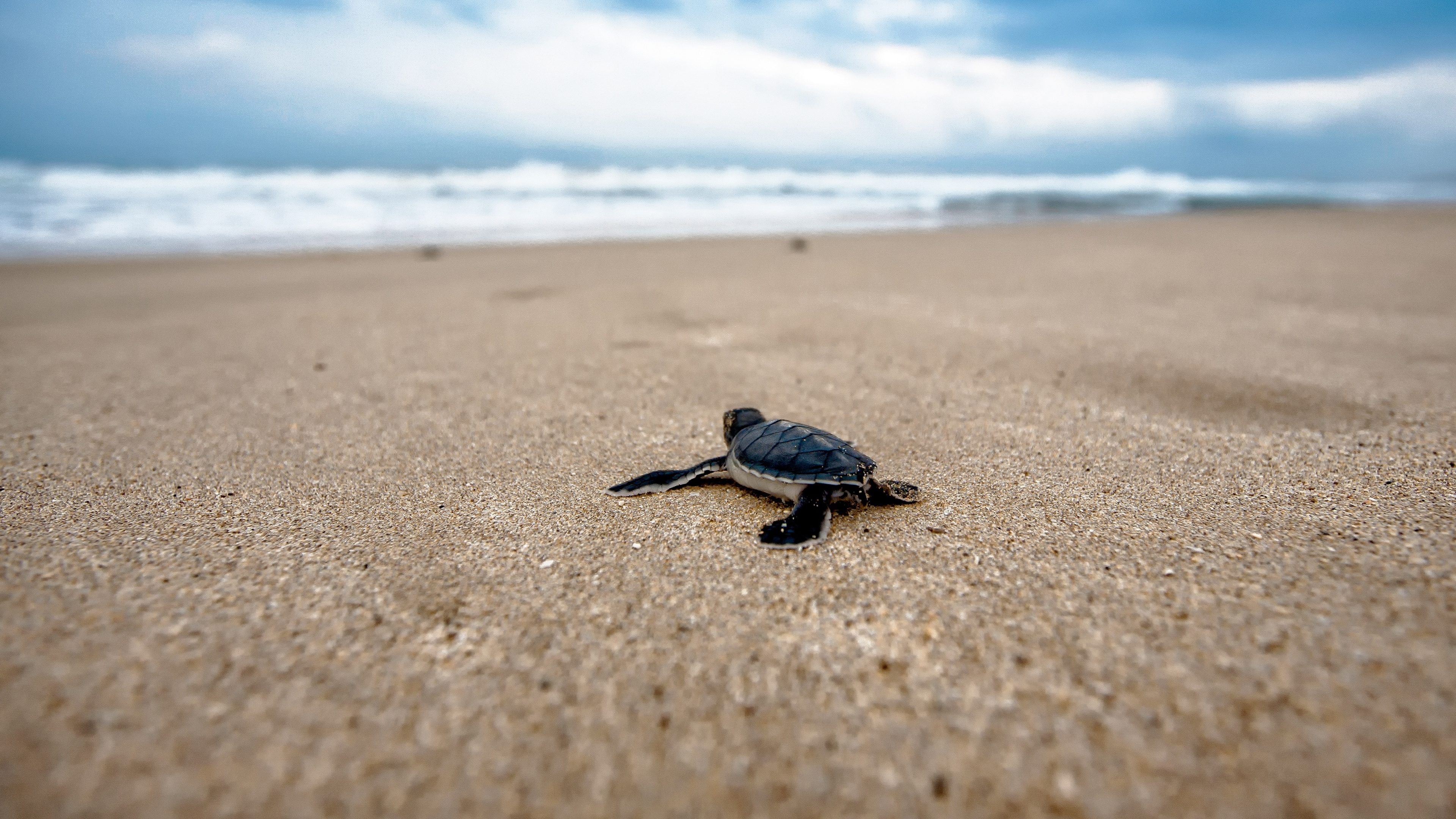 free baby sea turtle chromebook wallpaper ready for download