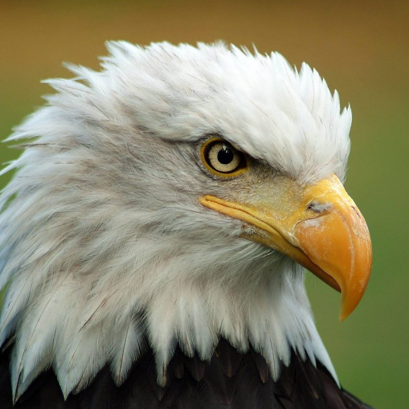 10 New Bald Eagle Wallpaper High Resolution FULL HD 1080p For PC Background 2020 free download free bald eagle wallpapers wallpaper cave 800x800