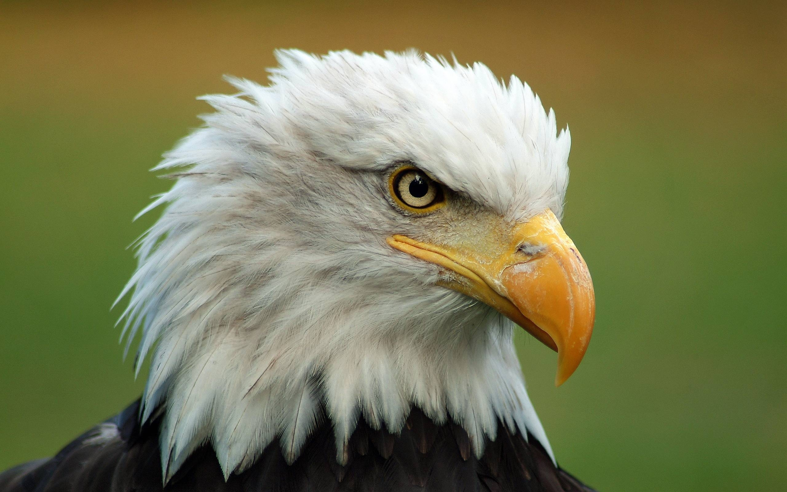 10 New Bald Eagle Wallpaper High Resolution FULL HD 1080p ...