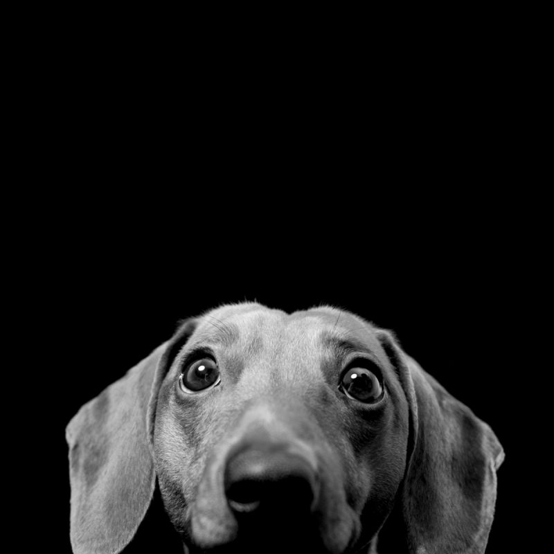 10 Most Popular Black And White Animal Wallpaper FULL HD 1080p For PC Desktop 2018 free download free black and white dog wallpaper mobile long wallpapers 800x800