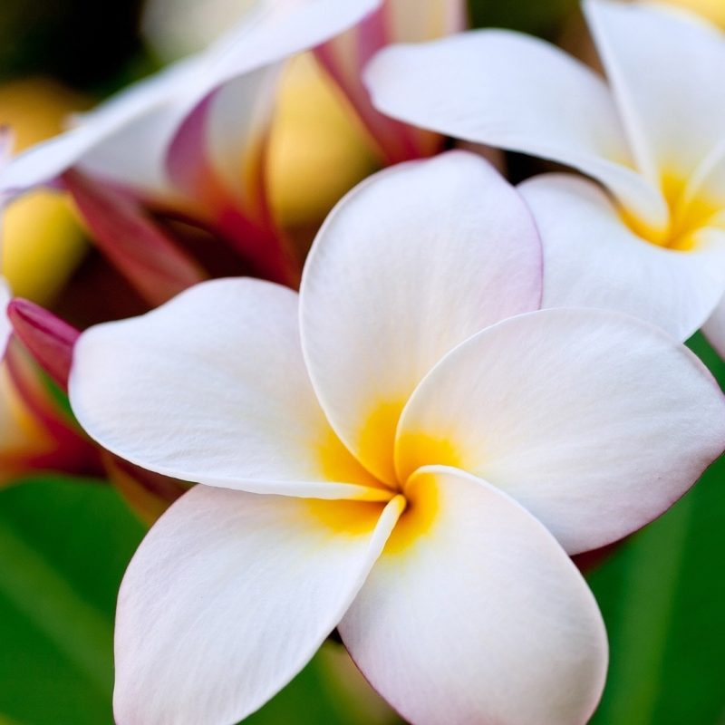 10 New Pics Of Hawaii Flowers FULL HD 1920×1080 For PC Desktop 2018 free download free hawaii flower wallpapers long wallpapers 800x800