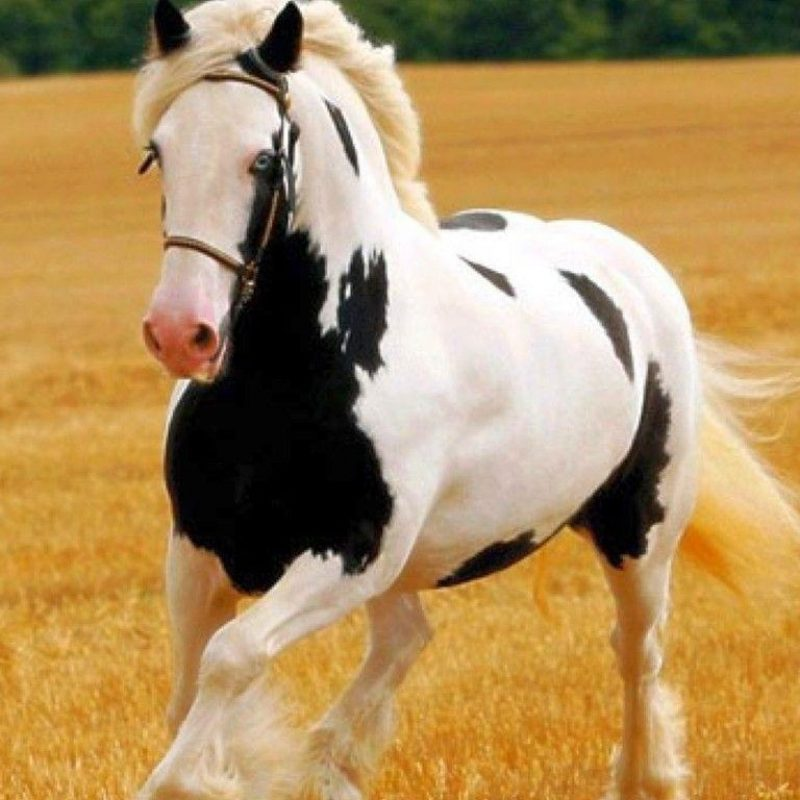 10 Top Free Horse Screensavers And Wallpaper FULL HD 1920×1080 For PC Background 2018 free download free horse screensavers and wallpapers wallpaper cave 800x800