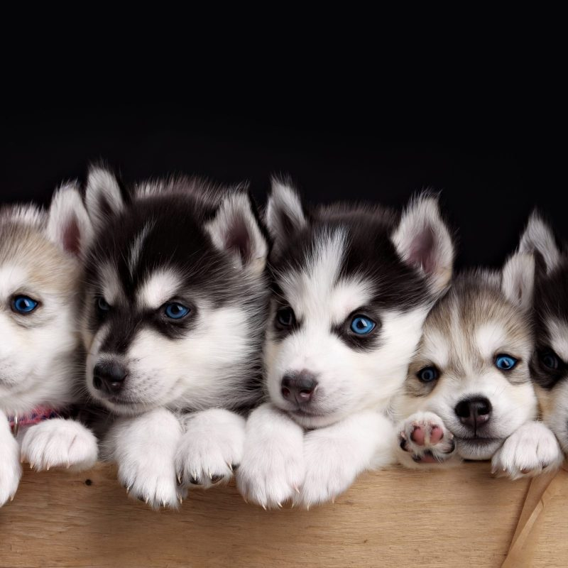 10 Most Popular Cute Puppies Wallpapers Free Download FULL HD 1920×1080 For PC Background 2018 free download free husky puppy wallpapers phone long wallpapers 1 800x800