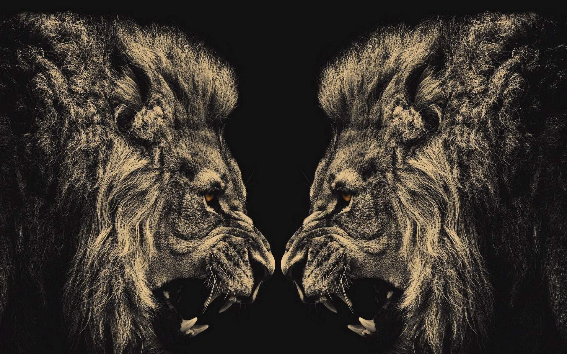 free lion black and white wallpapers background « long wallpapers