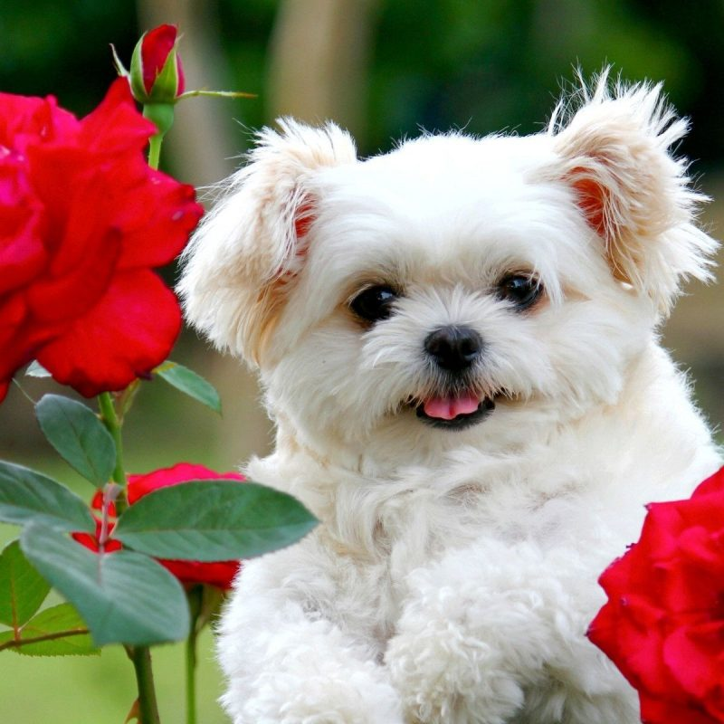 10 Most Popular Cute Puppies Wallpapers Free Download FULL HD 1920×1080 For PC Background 2018 free download free puppy backgrounds long wallpapers 800x800