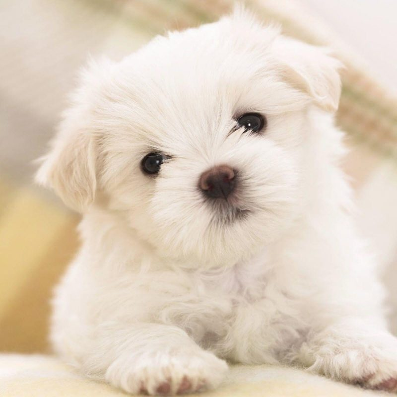 10 Most Popular Cute Puppies Wallpapers For Computer FULL HD 1920×1080 For PC Background 2018 free download free puppy wallpapers for computer wallpaper cave 1 800x800