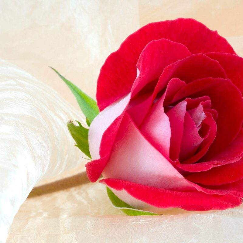 10 Best Roses Wallpapers Free Download FULL HD 1920×1080 For PC Background 2020 free download free roses wallpapers wallpaper cave 800x800