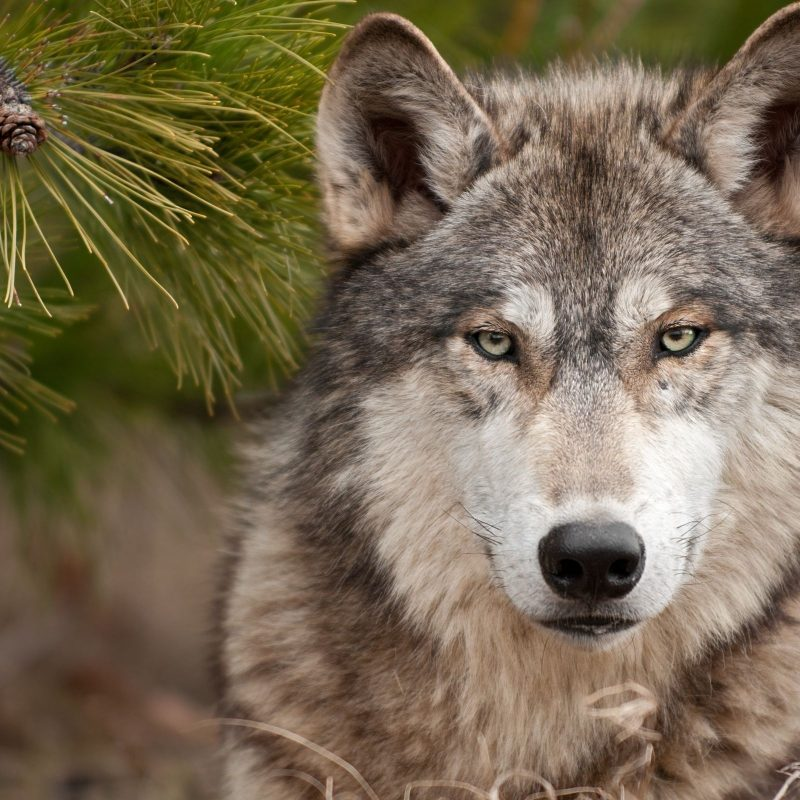 10 Top Free Wolf Wallpaper For Android FULL HD 1920×1080 For PC Background 2020 free download free wolf wallpaper downloads 800x800