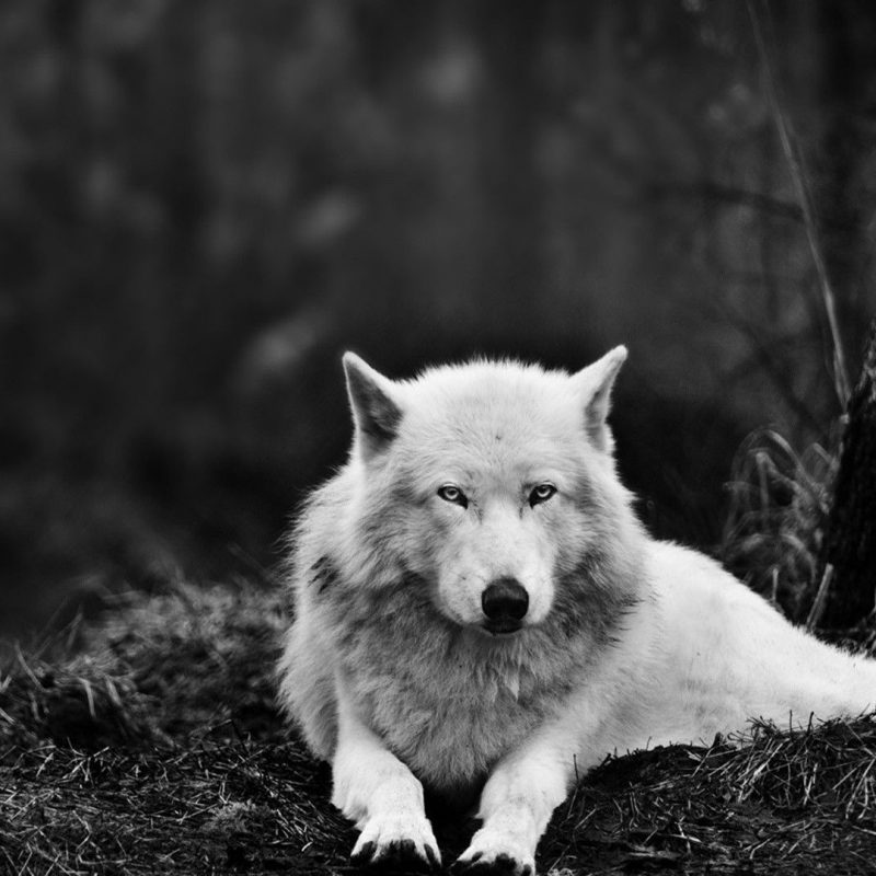 10 Most Popular Black And White Wolves Wallpaper FULL HD 1920×1080 For PC Background 2018 free download free wolf wallpaper phone long wallpapers 800x800