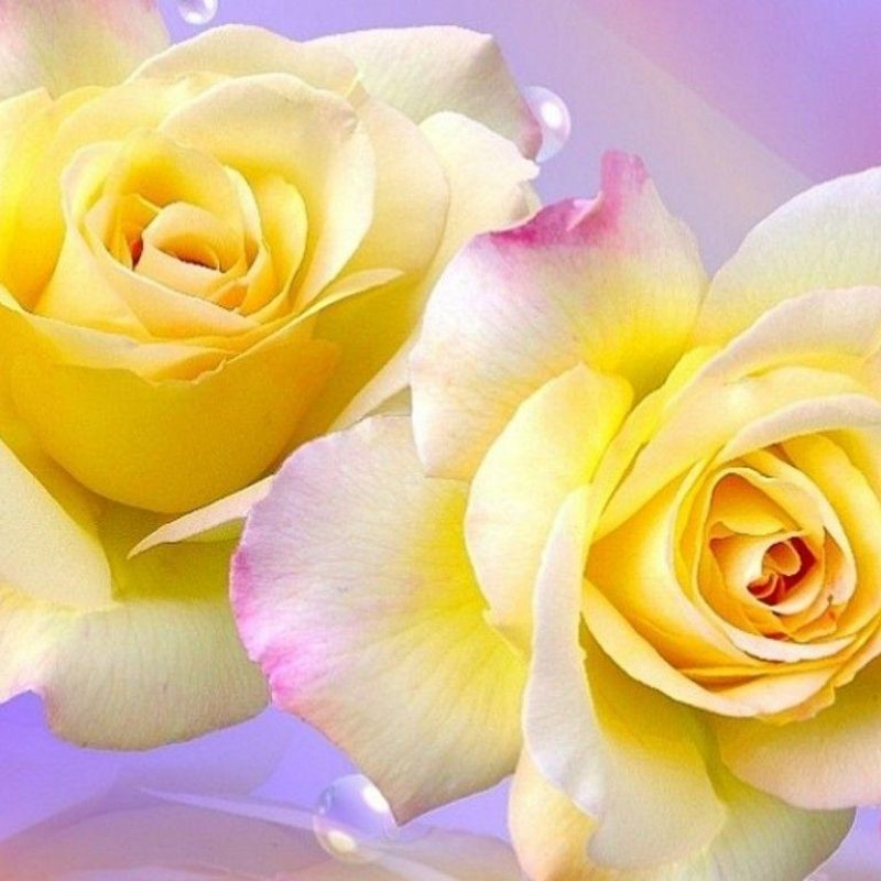 10 Best Roses Wallpapers Free Download FULL HD 1920×1080 For PC Background 2020 free download free yellow rose wallpapers wallpaper cave 800x800