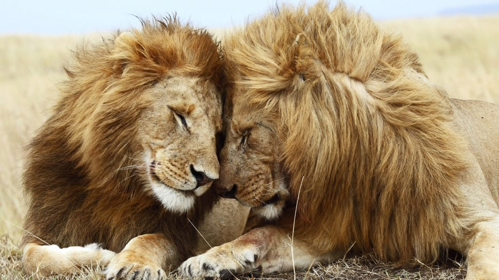 10 Most Popular Hd Lion Wallpapers 1080P FULL HD 1920×1080 For PC Desktop 2020 free download full hd 1080p lion wallpapers hd desktop backgrounds 1920x1080 1024x576