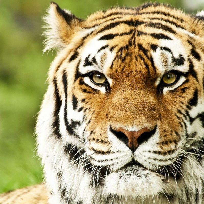10 Most Popular Siberian Tiger Wallpaper Hd 1080P FULL HD 1920×1080 For PC Desktop 2018 free download full hd 1080p tiger wallpapers hd desktop backgrounds 1920x1080 800x800