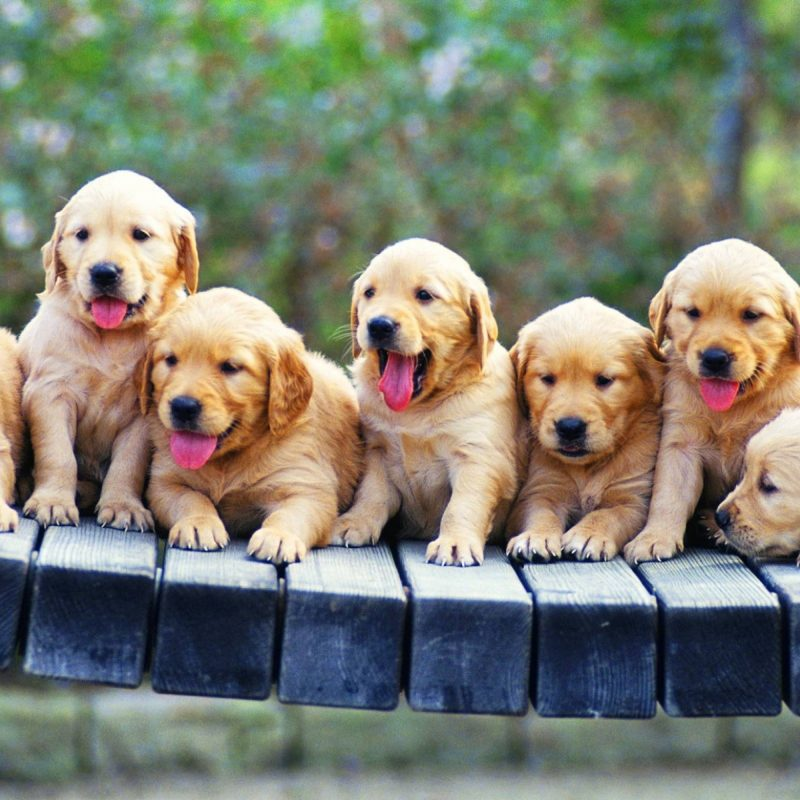 10 Most Popular Puppies Wallpapers Free Download FULL HD 1920×1080 For PC Background 2018 free download full hd images free download 800x800