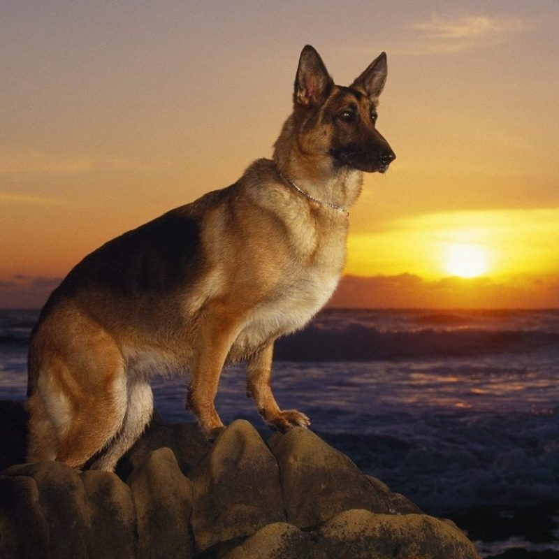 10 Latest Cool German Shepherd Pictures FULL HD 1080p For PC Background 2018 free download german shepherd dogs barking beast 800x800