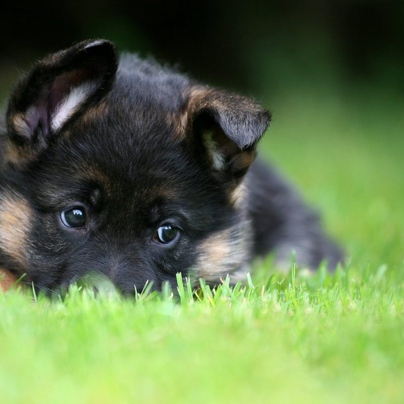 10 Top German Shepherd Puppy Wallpaper FULL HD 1920×1080 For PC Desktop 2020 free download german shepherd puppy pet wallpaper 2560x1600 476085 wallpaperup 800x800