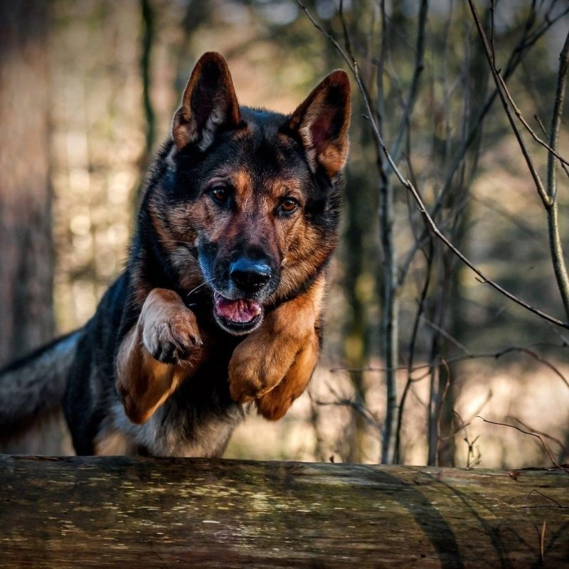 10 Latest Cool German Shepherd Pictures FULL HD 1080p For PC Background 2018 free download german shepherd wallpapers 46 desktop images of german shepherd 800x800
