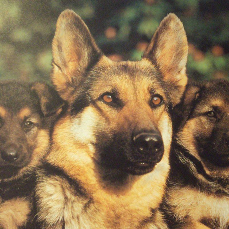 10 Top German Shepherd Puppy Wallpaper FULL HD 1920×1080 For PC Desktop 2020 free download german shepherd wallpapers wallpaper cave 800x800