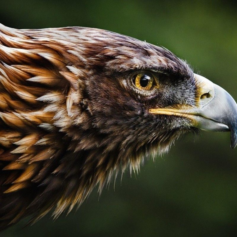 10 Top Birds Of Prey Wallpaper FULL HD 1920×1080 For PC Background 2018 free download golden eagle birds of prey wallpaper wallpaper studio 10 tens 800x800