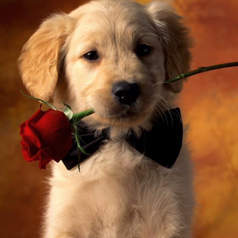 10 Most Popular Cute Puppy Pictures Wallpaper FULL HD 1920×1080 For PC Desktop 2020 free download golden retriever backgrounds golden retriever puppy wallpaper 800x800