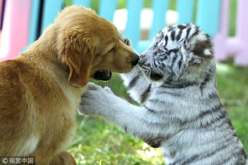 10 Top Baby White Tigers Pictures FULL HD 1080p For PC Desktop 2020 free download golden retriever puppies make friends with a baby white tiger 800x533